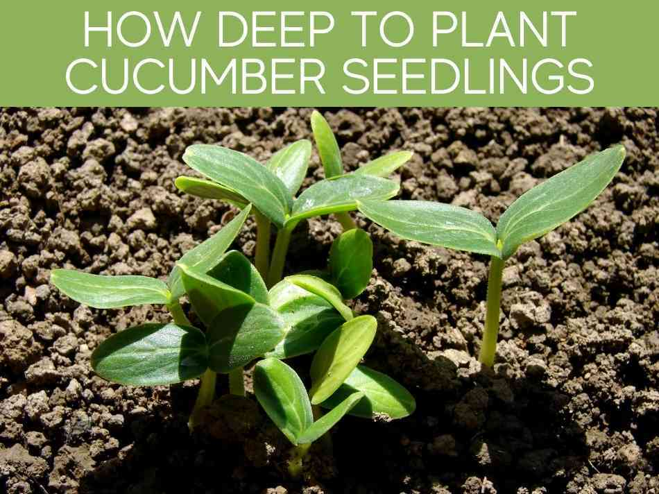 How Deep To Plant Cucumber Seedlings