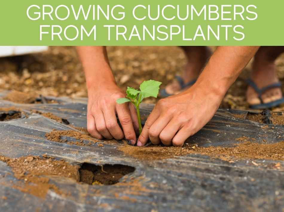 Growing Cucumbers From Transplants