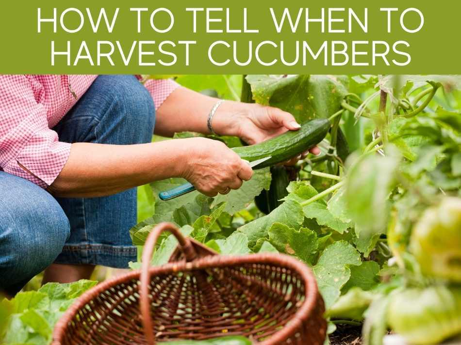 How To Tell When To Harvest Cucumbers