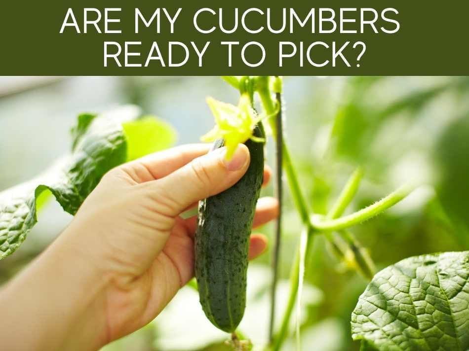 Are My Cucumbers Ready To Pick?
