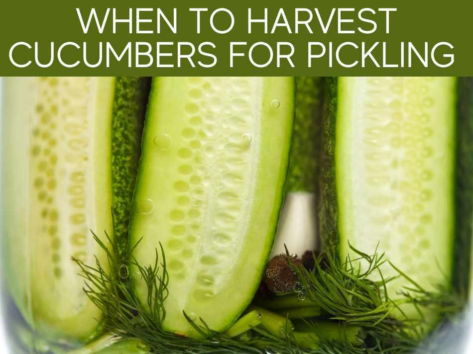 When To Harvest Cucumbers For Pickling
