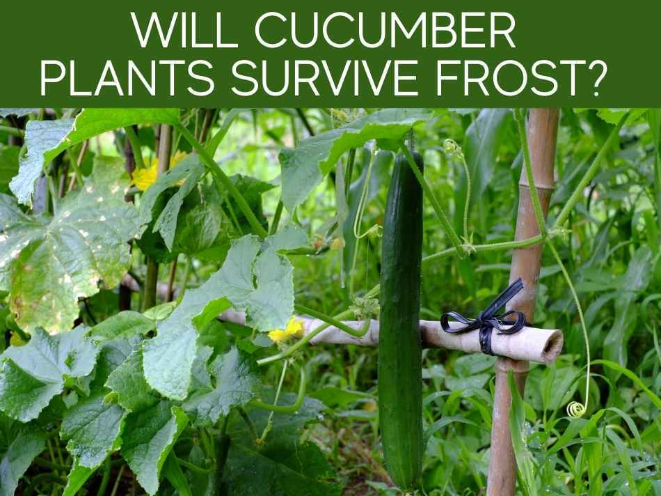 Will Cucumber Plants Survive Frost?