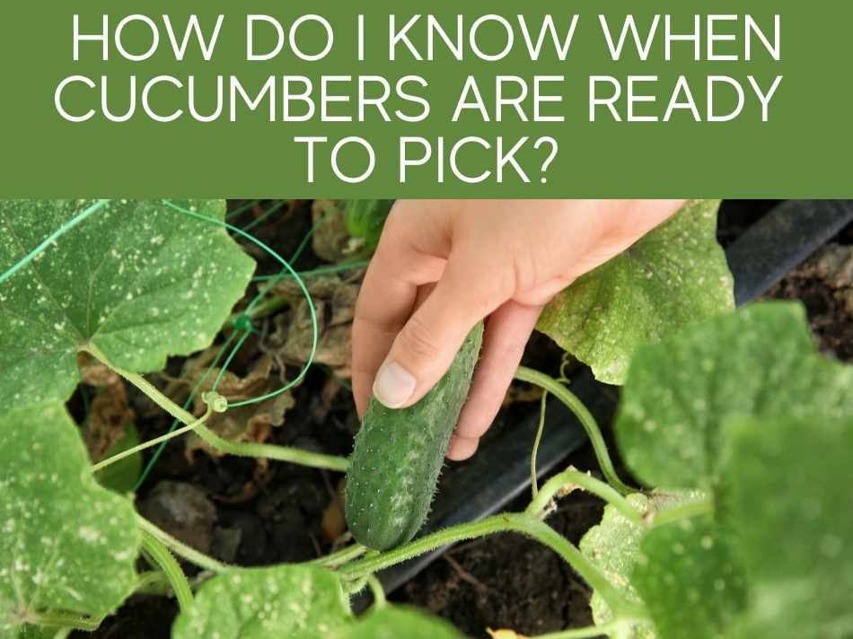 How Do I Know When Cucumbers Are Ready To Pick?