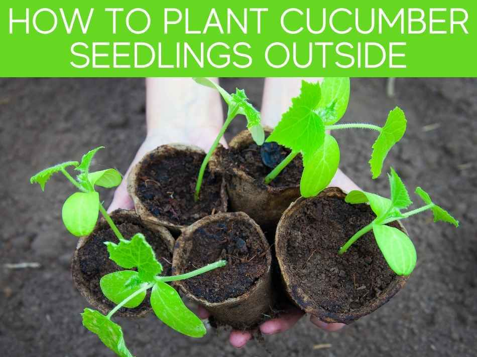 How To Plant Cucumber Seedlings Outside