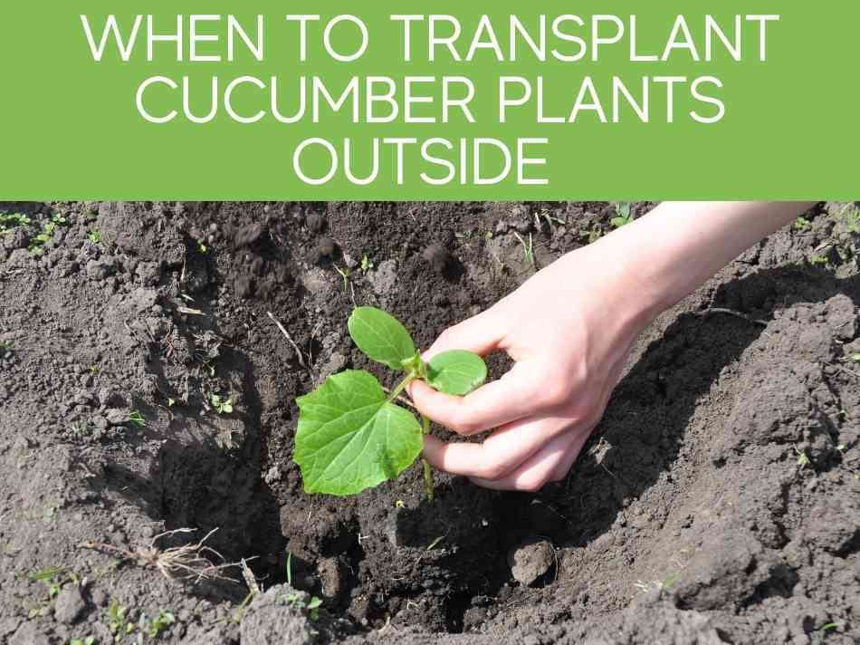 When To Transplant Cucumber Plants Outside