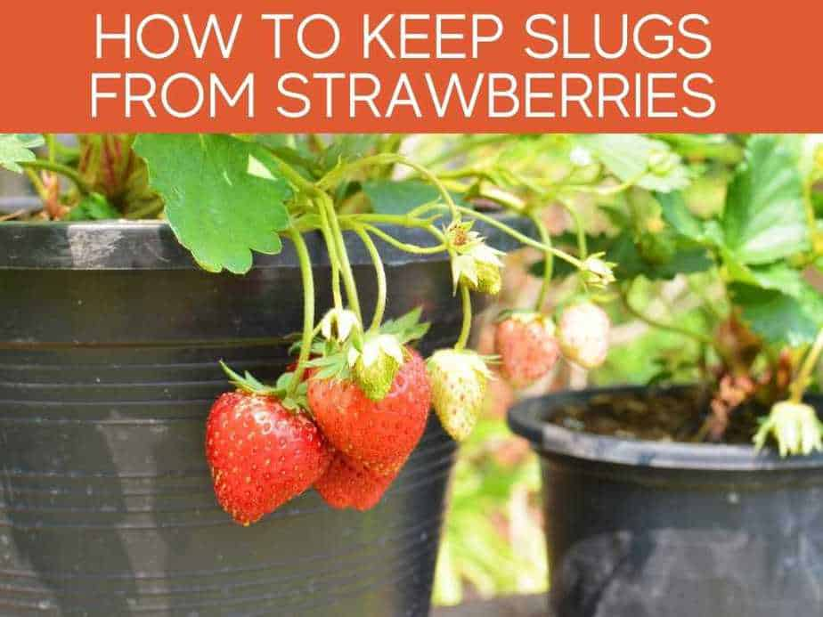 How To Keep Slugs From Strawberries