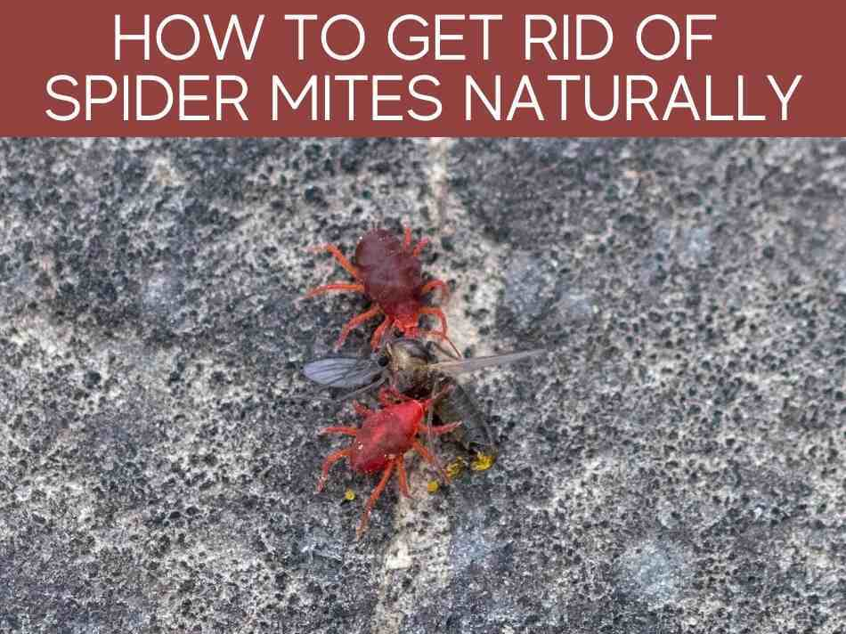 How To Get Rid Of Spider Mites Naturally