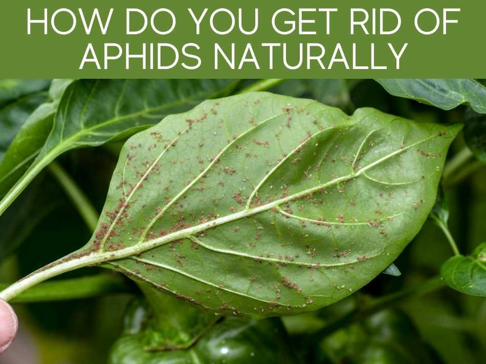 How Do You Get Rid Of Aphids Naturally