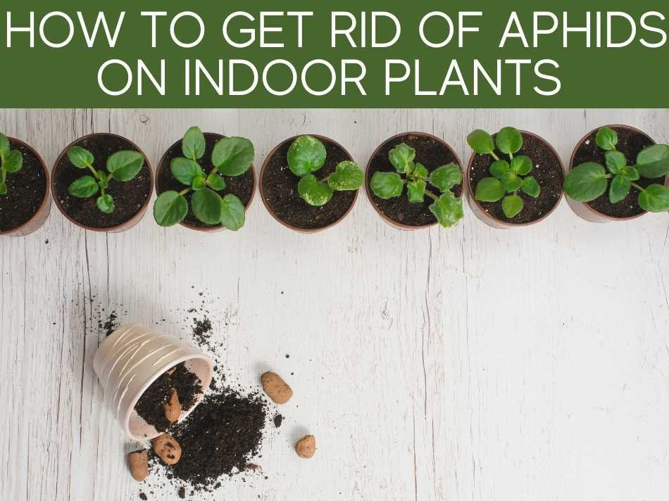 How To Get Rid Of Aphids On Indoor Plants