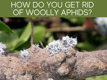 How Do You Get Rid Of Woolly Aphids?