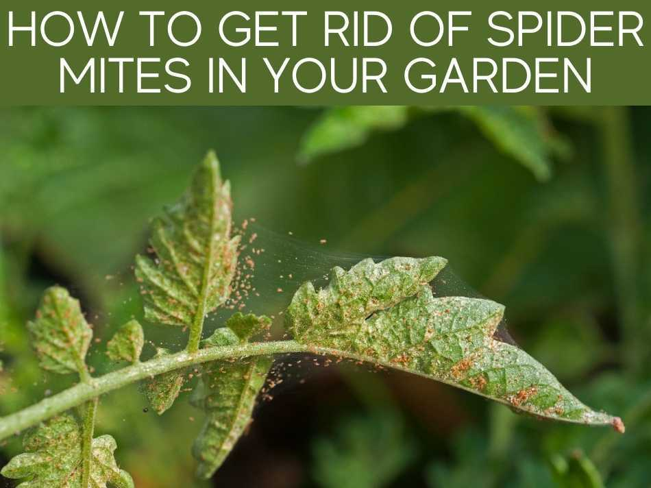 How To Get Rid Of Spider Mites In Your Garden