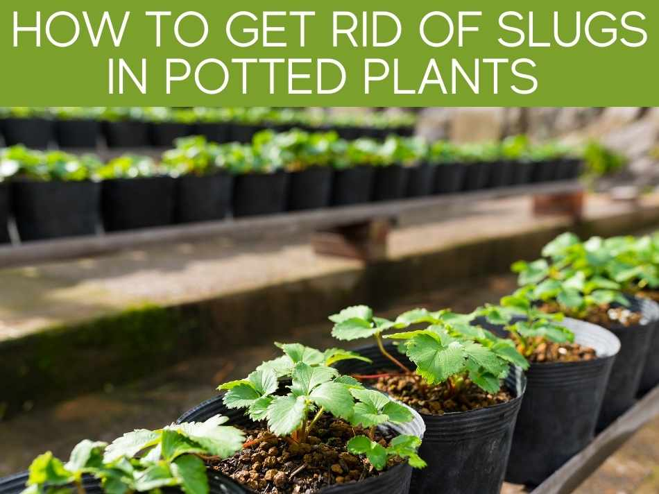 How To Get Rid Of Slugs In Potted Plants