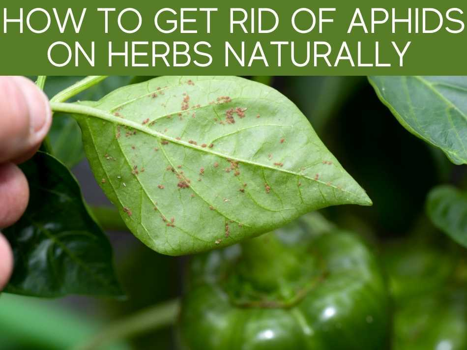How To Get Rid Of Aphids On Herbs Naturally