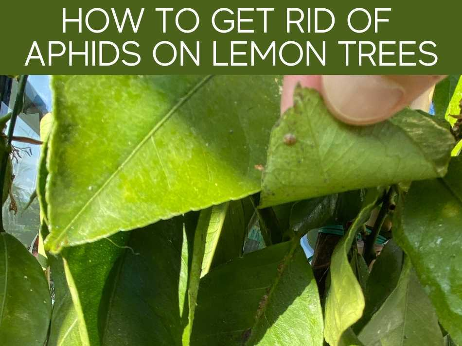 How To Get Rid Of Aphids On Lemon Trees