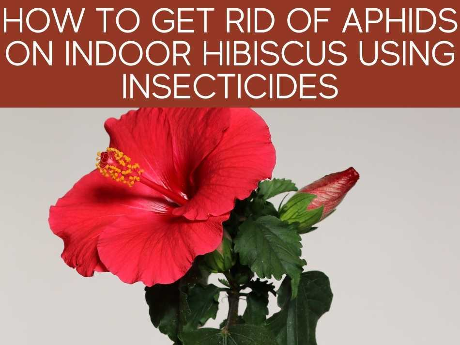 How To Get Rid Of Aphids On Indoor Hibiscus Using Insecticides