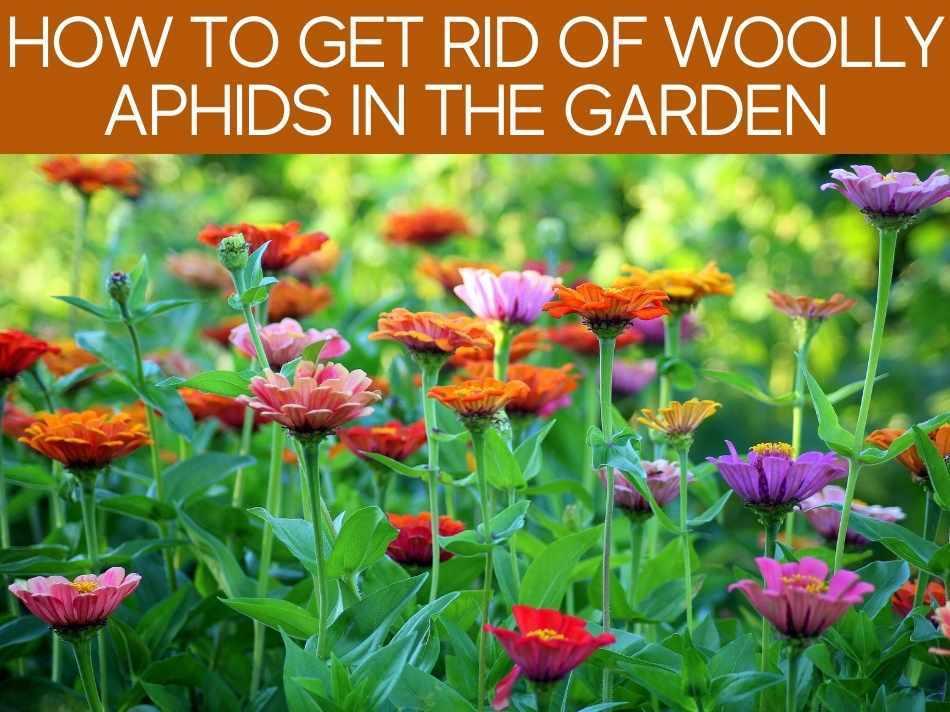 How To Get Rid Of Woolly Aphids In The Garden