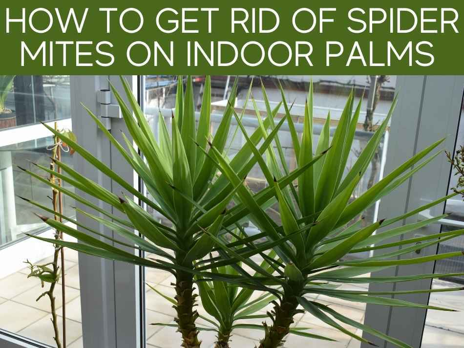 How To Get Rid Of Spider Mites On Indoor Palms