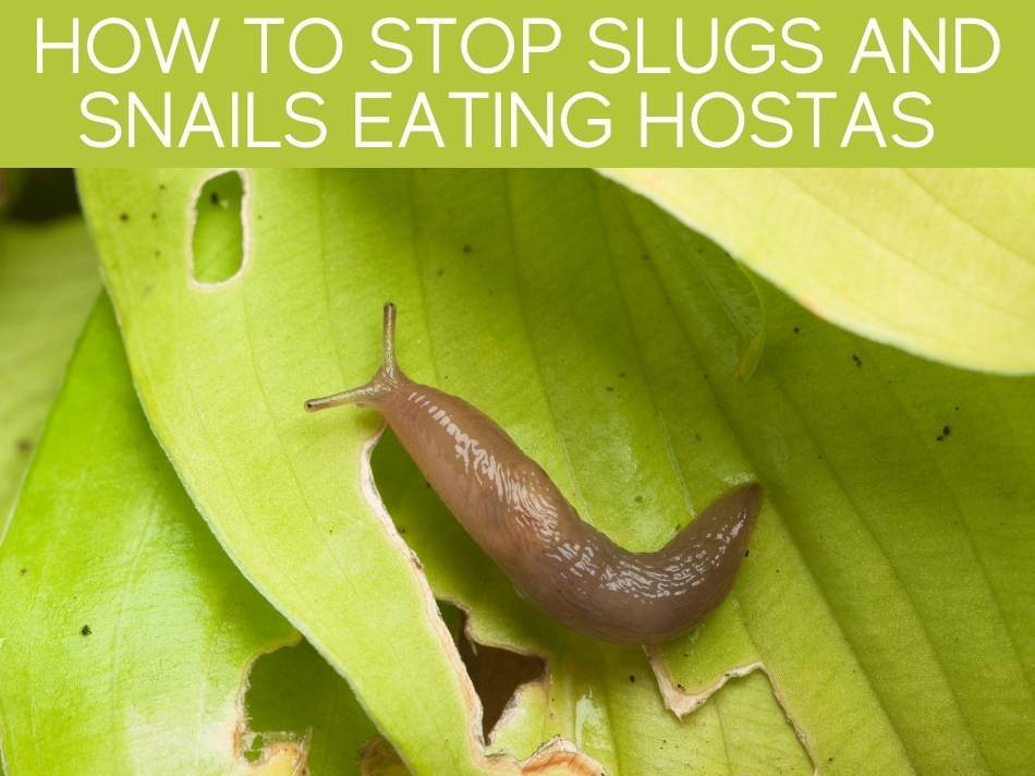 How To Stop Slugs And Snails Eating Hostas