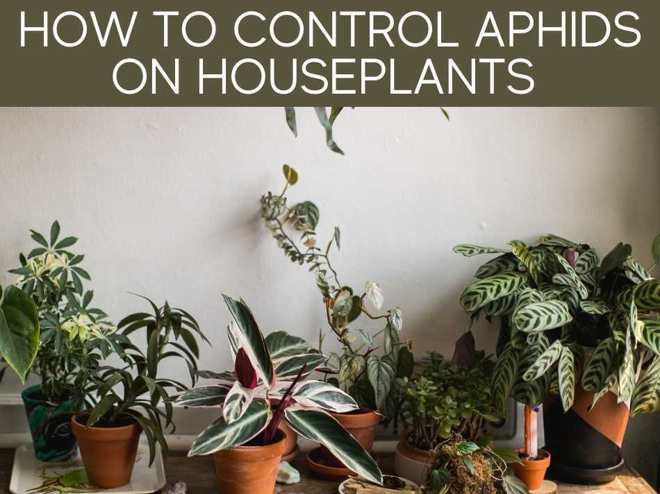 How To Control Aphids On Houseplants