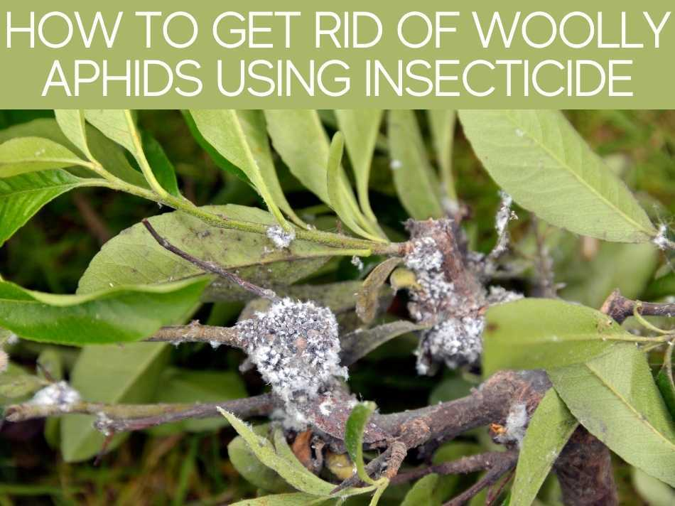 How To Get Rid Of Woolly Aphids Using Insecticide
