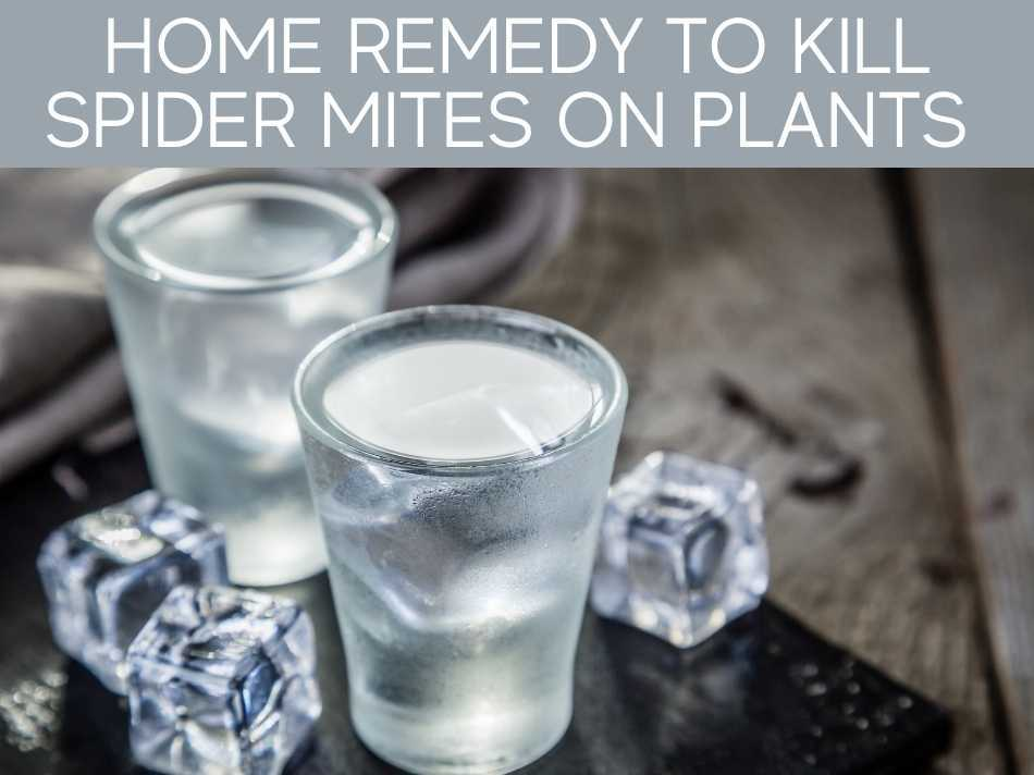 Home Remedy To Kill Spider Mites On Plants