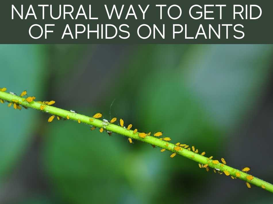 Natural Way To Get Rid Of Aphids On Plants