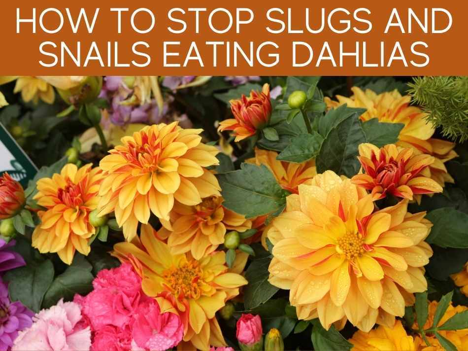 How To Stop Slugs And Snails Eating Dahlias
