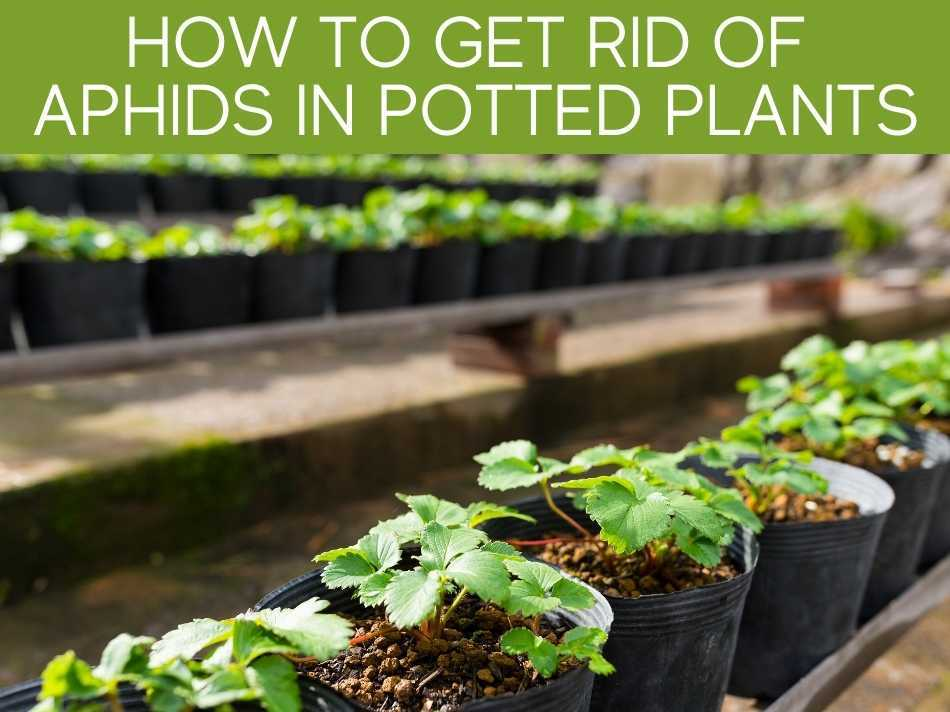 How To Get Rid Of Aphids In Potted Plants