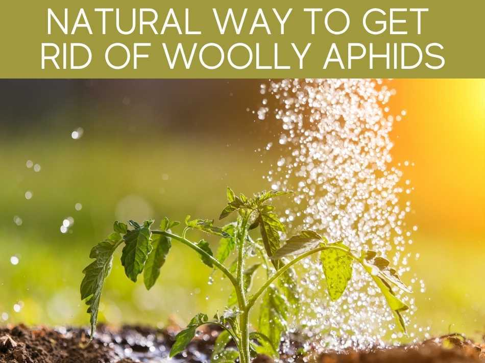 Natural Way To Get Rid Of Woolly Aphids