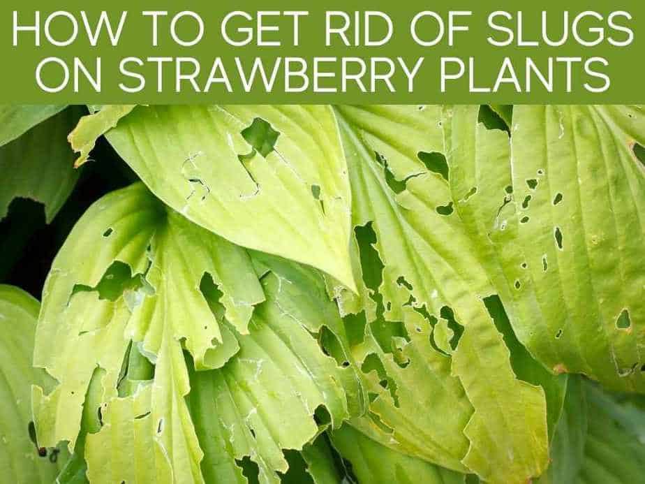 How To Get Rid Of Slugs On Strawberry Plants