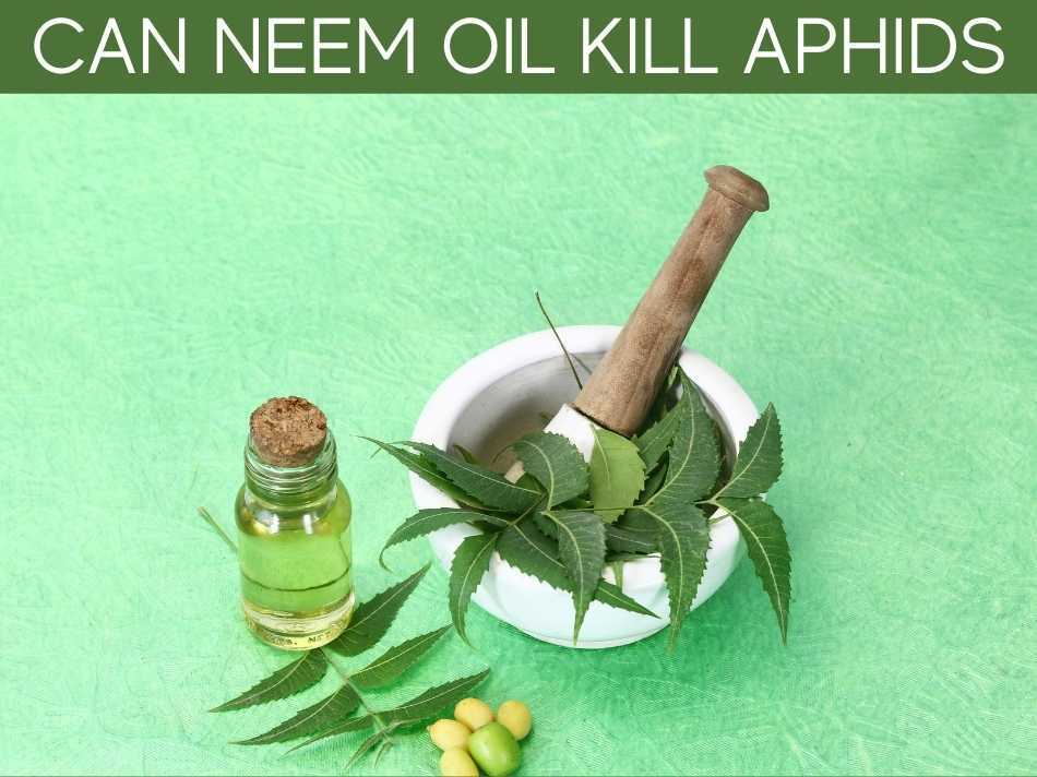 Can Neem Oil Kill Aphids