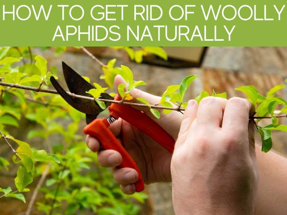 How To Get Rid Of Woolly Aphids Naturally