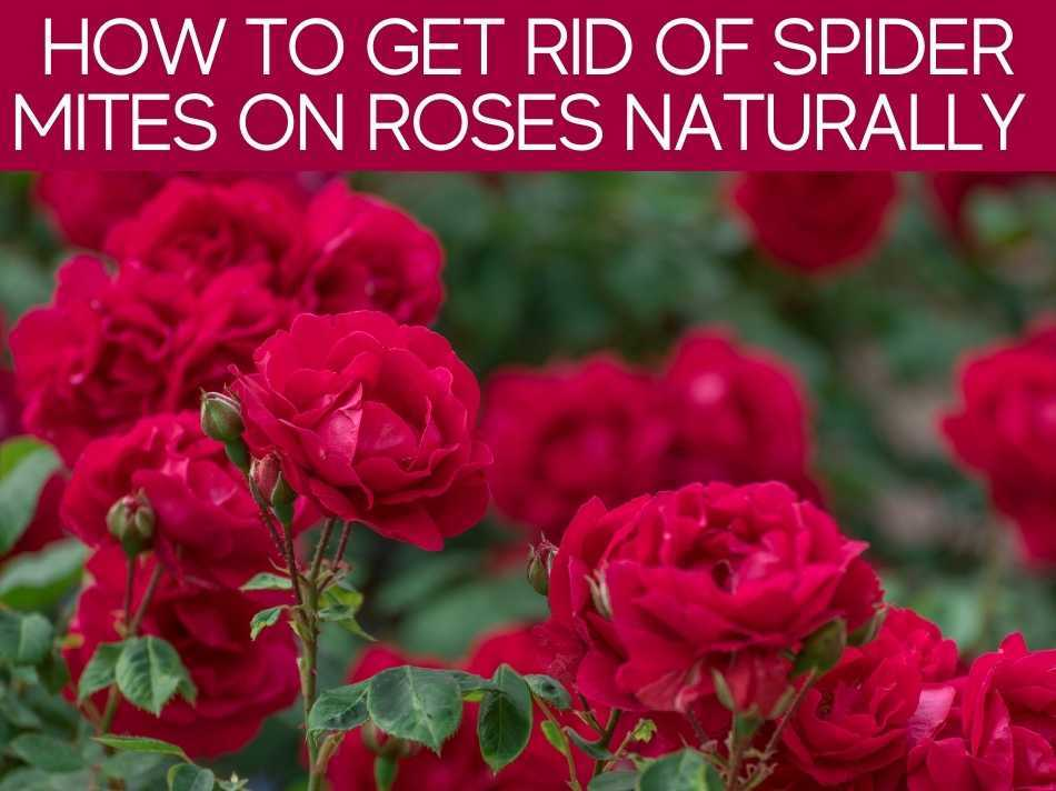 How To Get Rid Of Spider Mites On Roses Naturally