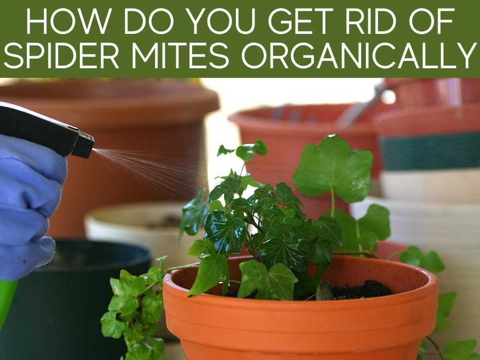 How Do You Get Rid Of Spider Mites Organically