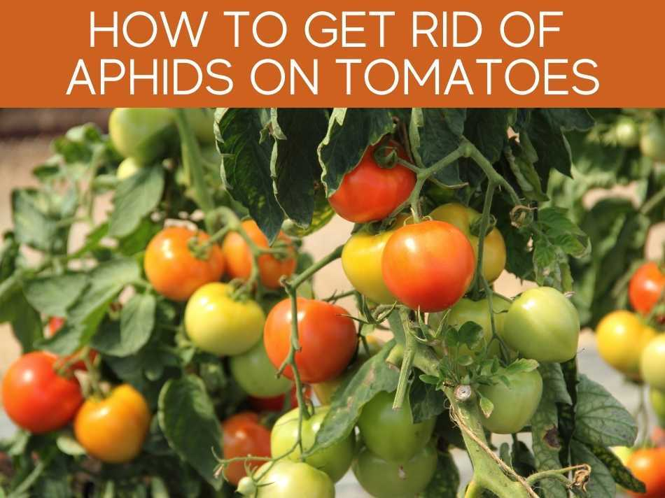 How To Get Rid Of Aphids On Tomatoes