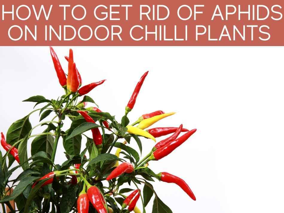 How To Get Rid Of Aphids On Indoor Chilli Plants