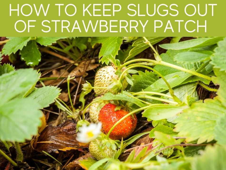 How To Keep Slugs Out Of Strawberry Patch