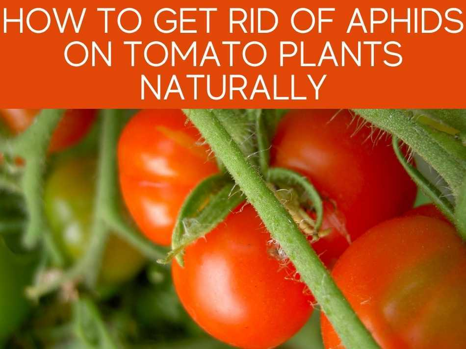 How To Get Rid Of Aphids On Tomato Plants Naturally