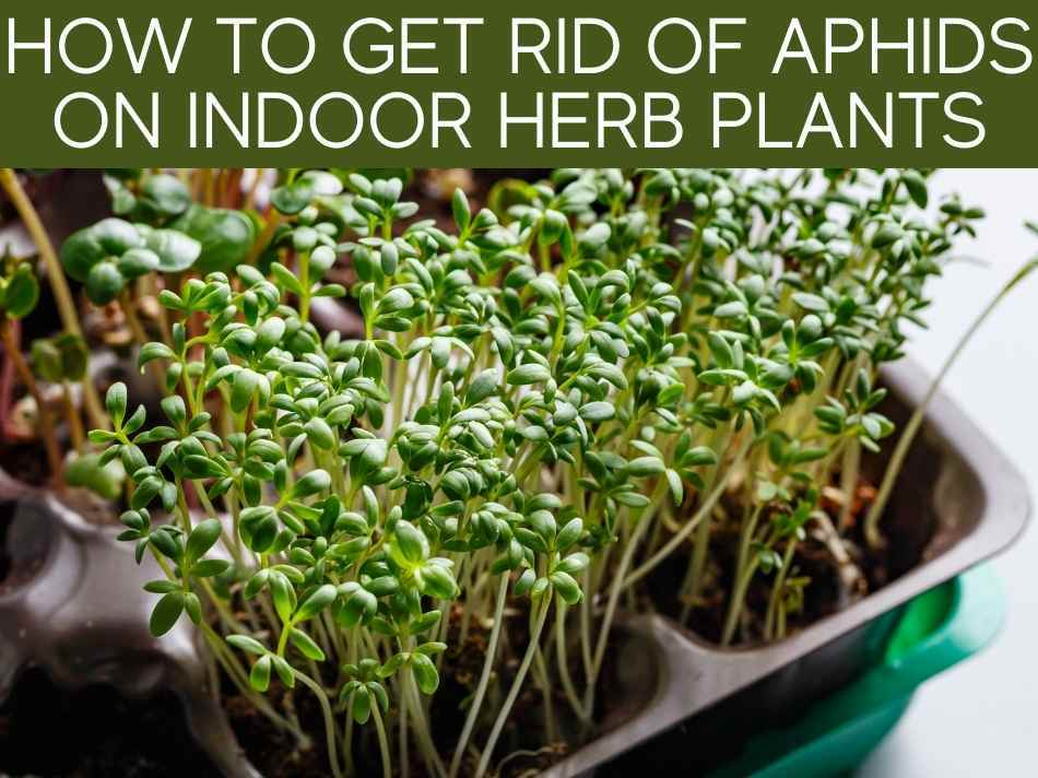 How To Get Rid Of Aphids On Indoor Herb Plants