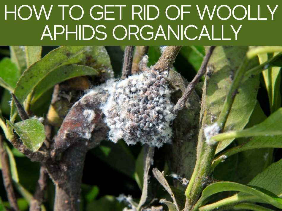 How To Get Rid Of Woolly Aphids Organically