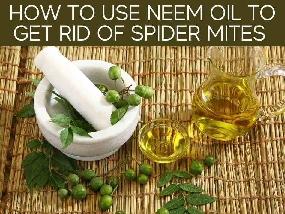 How To Use Neem Oil To Get Rid Of Spider Mites