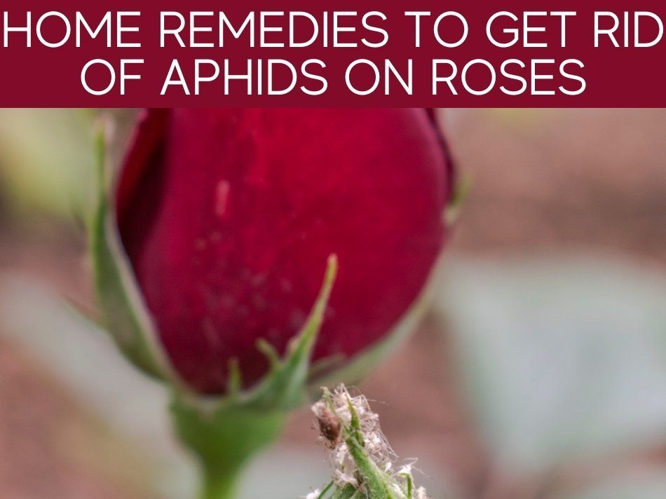 Home Remedies To Get Rid Of Aphids On Roses