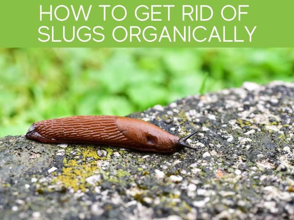 How To Get Rid Of Slugs Organically