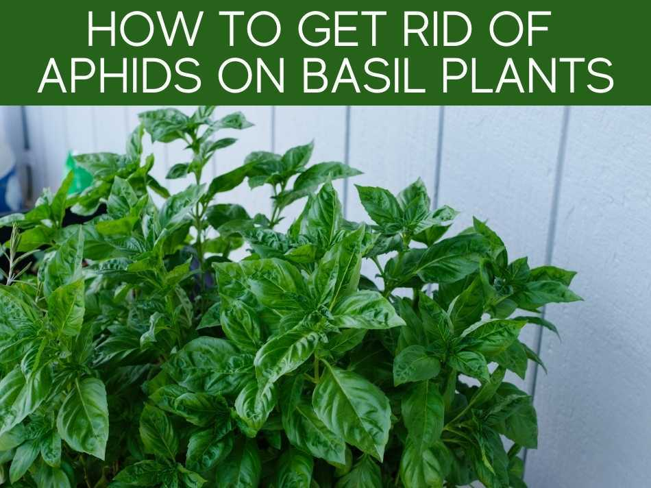 How To Get Rid Of Aphids On Basil Plants