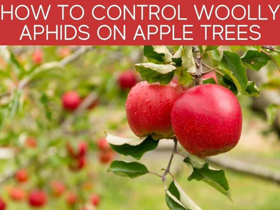 How To Control Woolly Aphids On Apple Trees