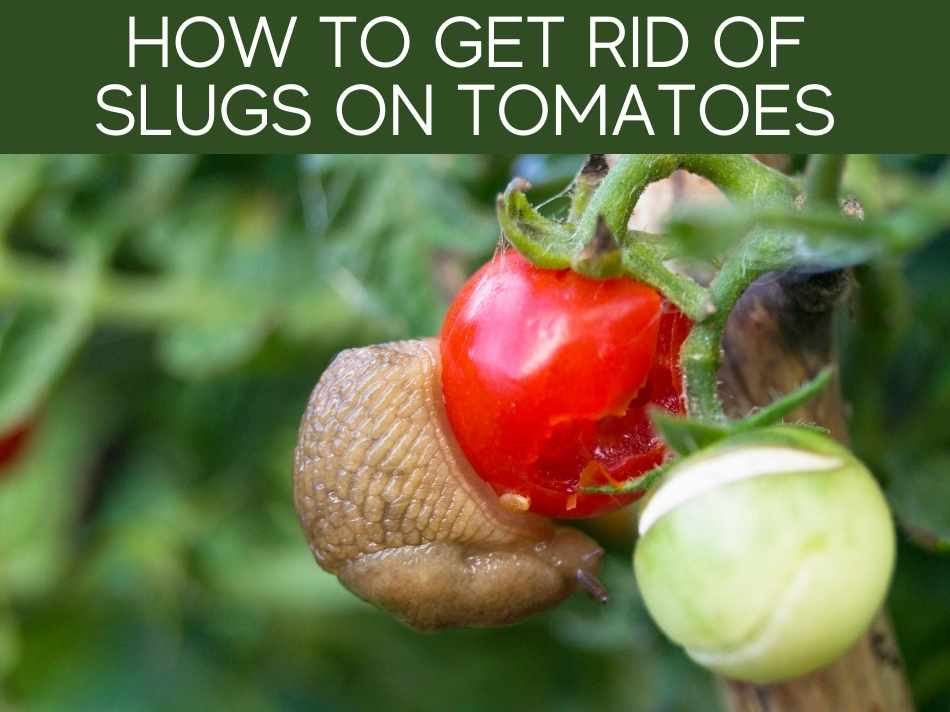 How To Get Rid Of Slugs On Tomatoes