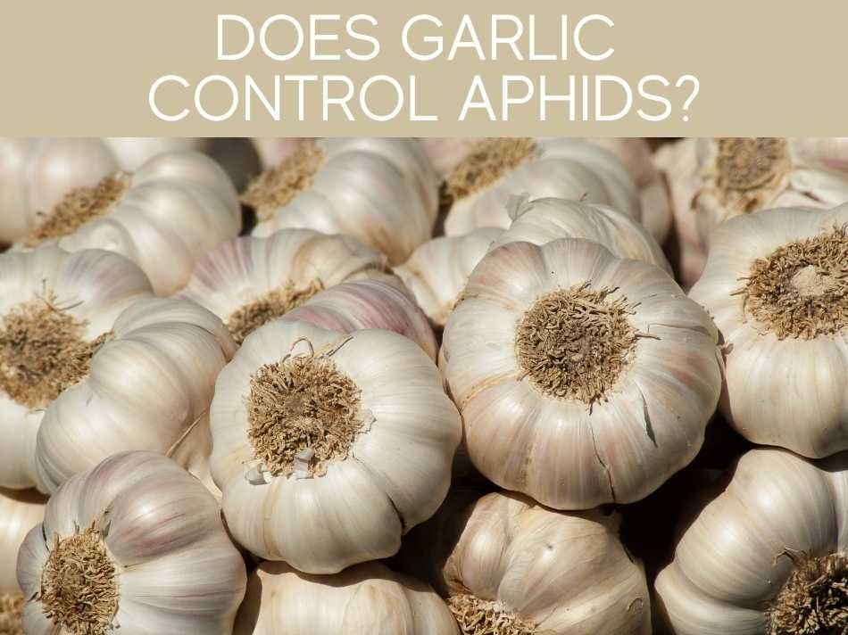 Does Garlic Control Aphids?