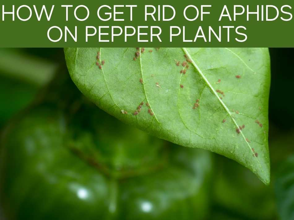 How To Get Rid Of Aphids On Pepper Plants