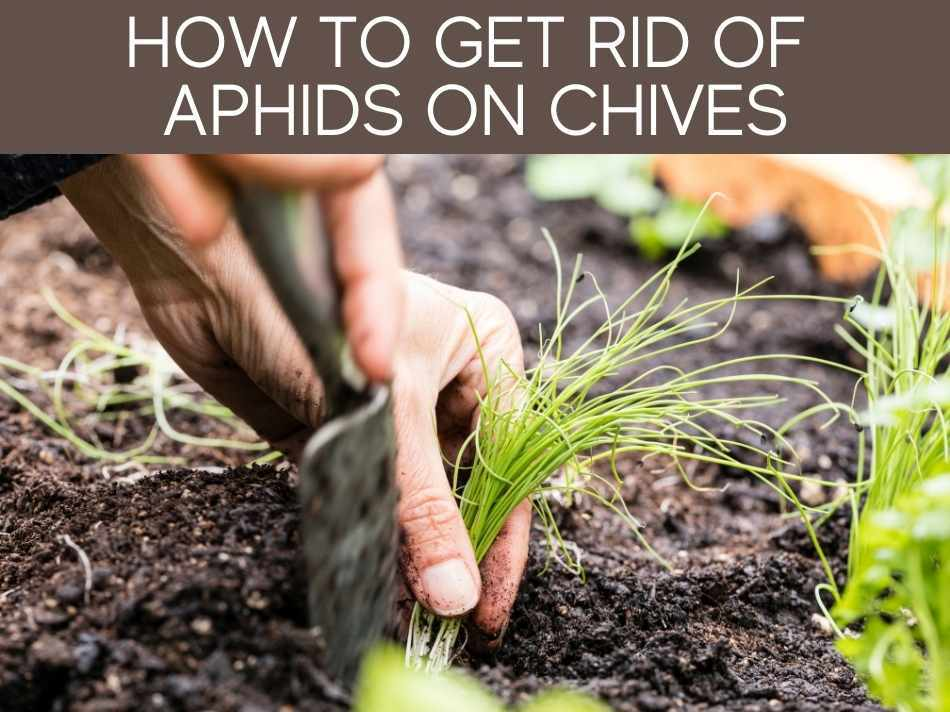How To Get Rid Of Aphids On Chives