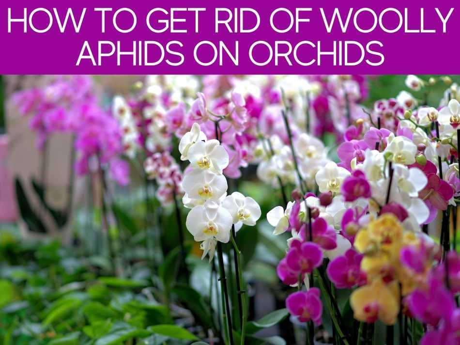How To Get Rid Of Woolly Aphids On Orchids